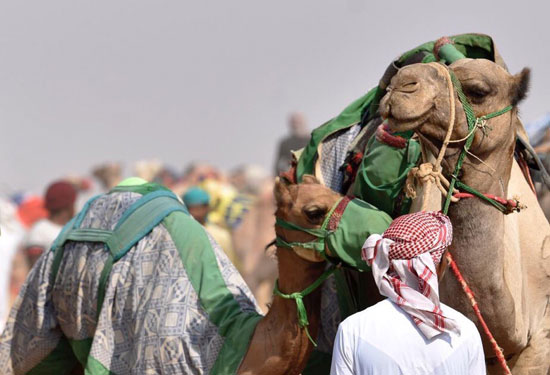 سباق ولى العهد للهجن بالسعودية  (5)