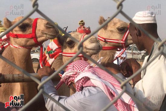 مهرجان-ولى-العهد-لسباقات-الهجن-العربية