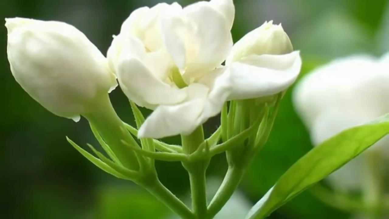 زهور الياسمين ركن
