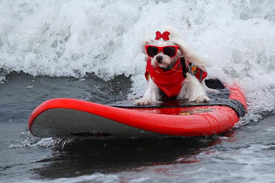 كلب يرتدى نظارة خلال المسابقة