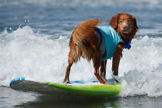 كلب يشارك فى المسابقة