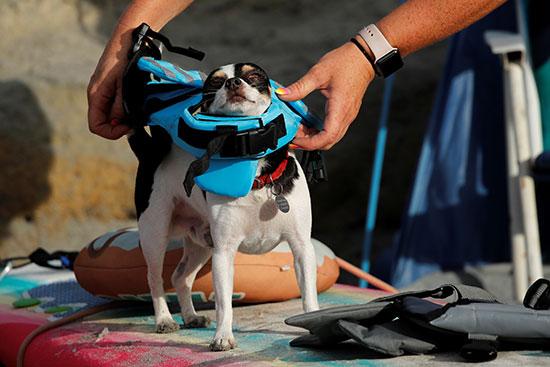 صاحب الكلب يجهزه للمسابقة