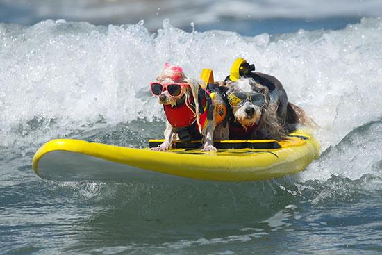 مسابقة ركوب الأمواج للكلاب
