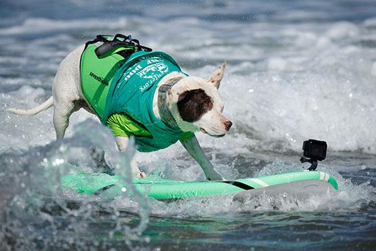 أحد الكلاب المشاركة فى المسابقة