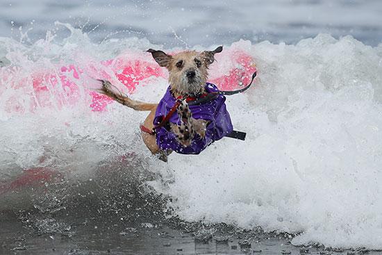 كلب يقفز خلال فعاليات المسابقة