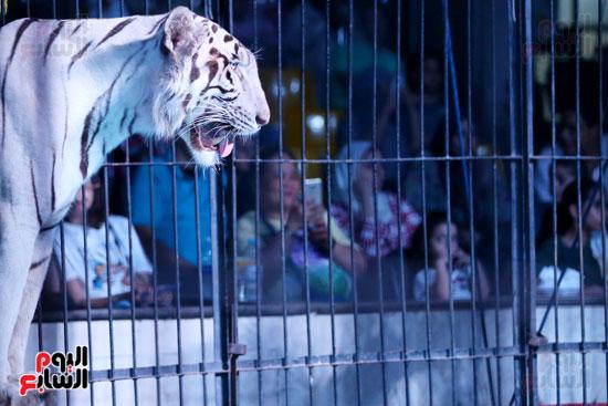 عرض النمر الأبيض مع مدحت كوته (4)