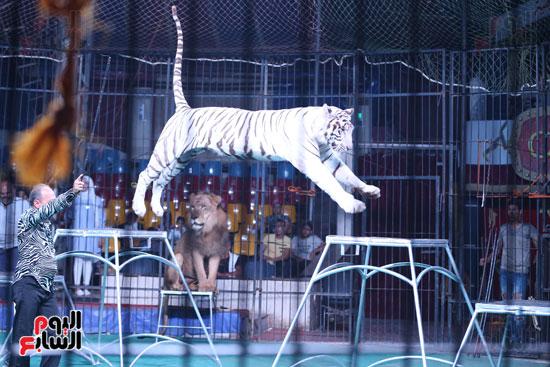 عرض النمر الأبيض مع مدحت كوته (6)