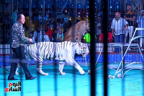 عرض النمر الأبيض مع مدحت كوته (5)