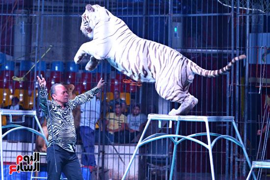 عرض النمر الأبيض مع مدحت كوته (2)