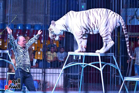 عرض النمر الأبيض مع مدحت كوته (1)