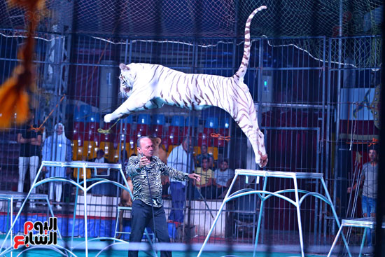 عرض النمر الأبيض مع مدحت كوته (3)