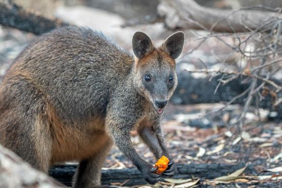 حيوان الولابى يأكل الجزر بعد إلقائه من موظفوا الحياة البرية