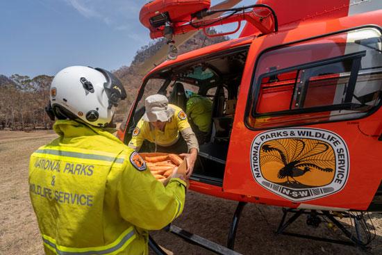 موظفوا الحياة البرية الأسترالية يحملون الجزر بالهليكوبتر