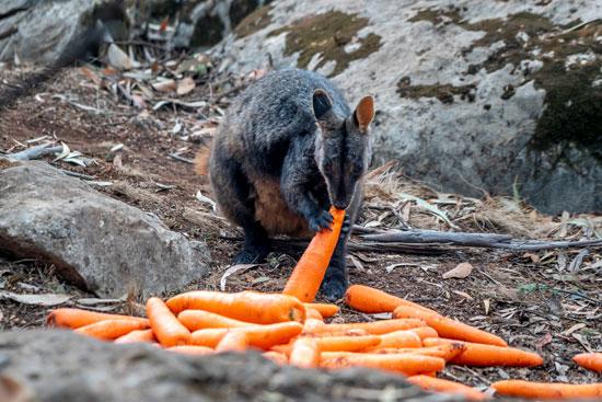 أحد الحيوانات تاكل الجزر الملقى من قبل موظفوا الحياة البرية الأسترالية