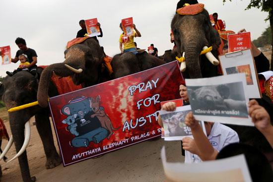 فيلة-فى-تايلاند-تشارك-فى-مسيرة-ضد-حرائق-الغابات-باستراليا