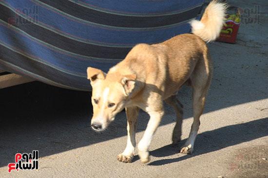 الكلاب الضالة فى القرى