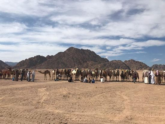 الهجانة يستعدون لمشاركة قوية بمهرجان شرم الشيخ التراثى برعاية الإمارات (9)