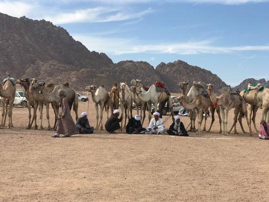 الهجانة يستعدون لمشاركة قوية بمهرجان شرم الشيخ التراثى برعاية الإمارات (10)