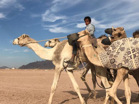 الهجانة يستعدون لمشاركة قوية بمهرجان شرم الشيخ التراثى برعاية الإمارات (4)