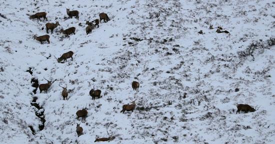 قطيع من الغزلان يبحث عن طعامه فى وسط الثلوج