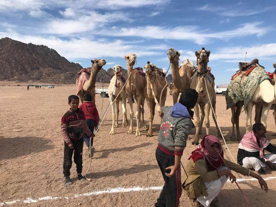 الهجانة يستعدون لمشاركة قوية بمهرجان شرم الشيخ التراثى برعاية الإمارات (11)