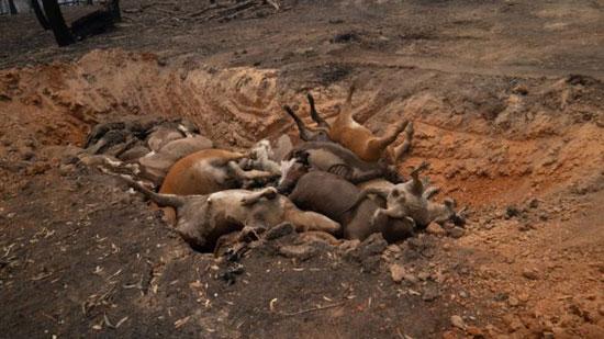 قرى أستراليا تحولت إلى مقابر جماعية للحيوانات