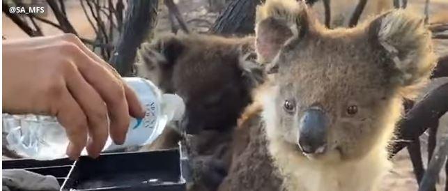 حيوان الكوالا ينجو من الحرائق فى أستراليا