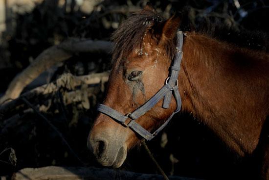 حصان-مغطى-برماد-البركان