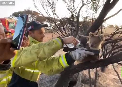 رجال إطفاء فى أستراليا يوفرون الماء لكوالا عطشان