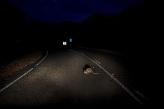 حيوان على أحد الطرق