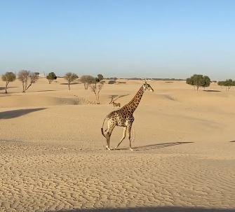 ولى عهد دبى يلتقط صورة لزرافى فى صحراء الإمارة