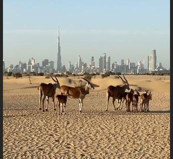 حيوانات برية فى صحراء دبى