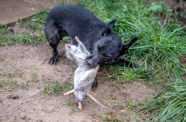 لحظة اصطياد الكلاب للفئران