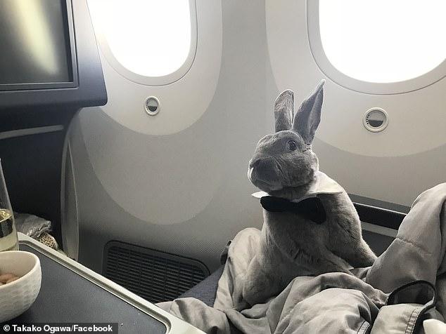الأرنب يحظى بربطة عنق خلال رحلته الجوية