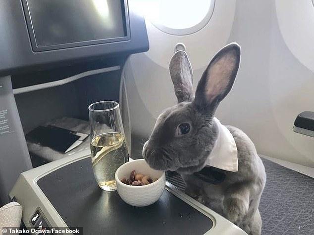 الأرنب يتناول غذائه ويستنشق الشامبانيا
