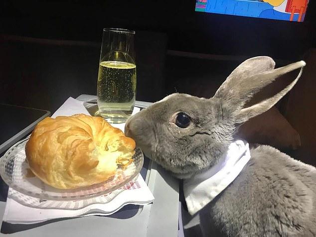 أرنب يطير من أمريكا لليابان على درجة رجال الأعمال