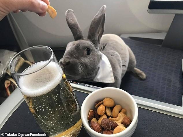 أرنب يسافر على درجة رجال الأعمال من أمريكا لليابان