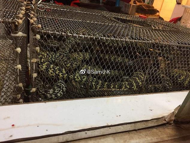 الثعابين التى يتم ذبحا سبب نقل العدوى بكورونا