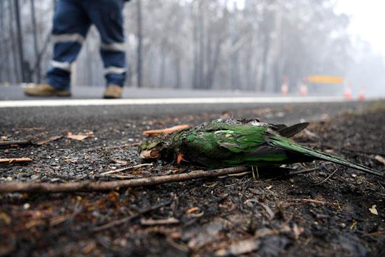 نفوق الطيور بسبب حرائق الغابات