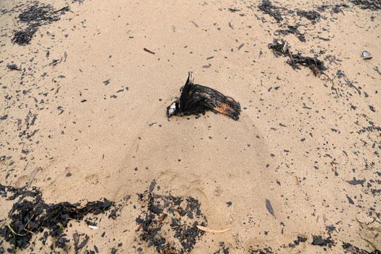 طيور نافقة وسط الرمال
