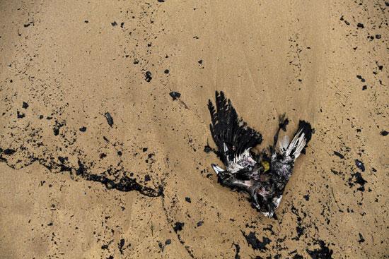 طائر أسترالي أصيل ميتاً وهو يغوص وسط حطام الرماد والنار على شاطئ بويدتاون بالقرب من نهر نوليكا