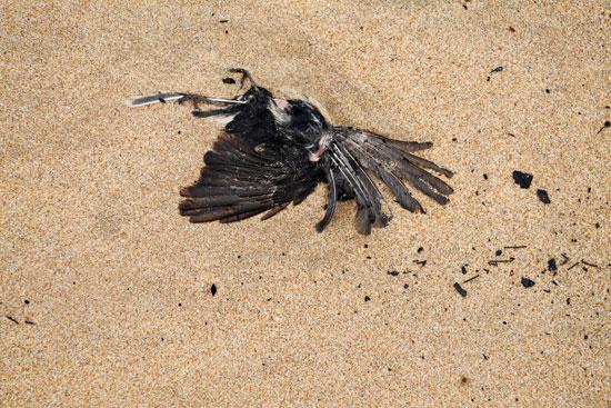 طيور ميتة بسبب حرائق الغابات