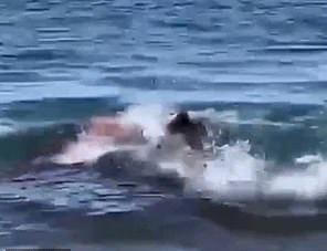 هجوم سمكة قرش أبيض على فقمة