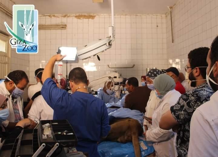 الاسد هوجان بغرفة العمليات  (3)