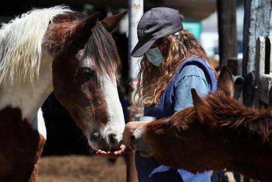 إطعام الخيول التي تعرضت لسوء المعاملة التي تم إنقاذها من قبل الجمعية