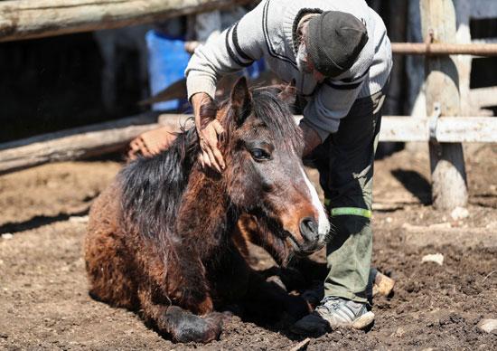 مقدم رعاية جمعية حماية الإنقاذ للخيول يحتضن الحصان أرجينتو