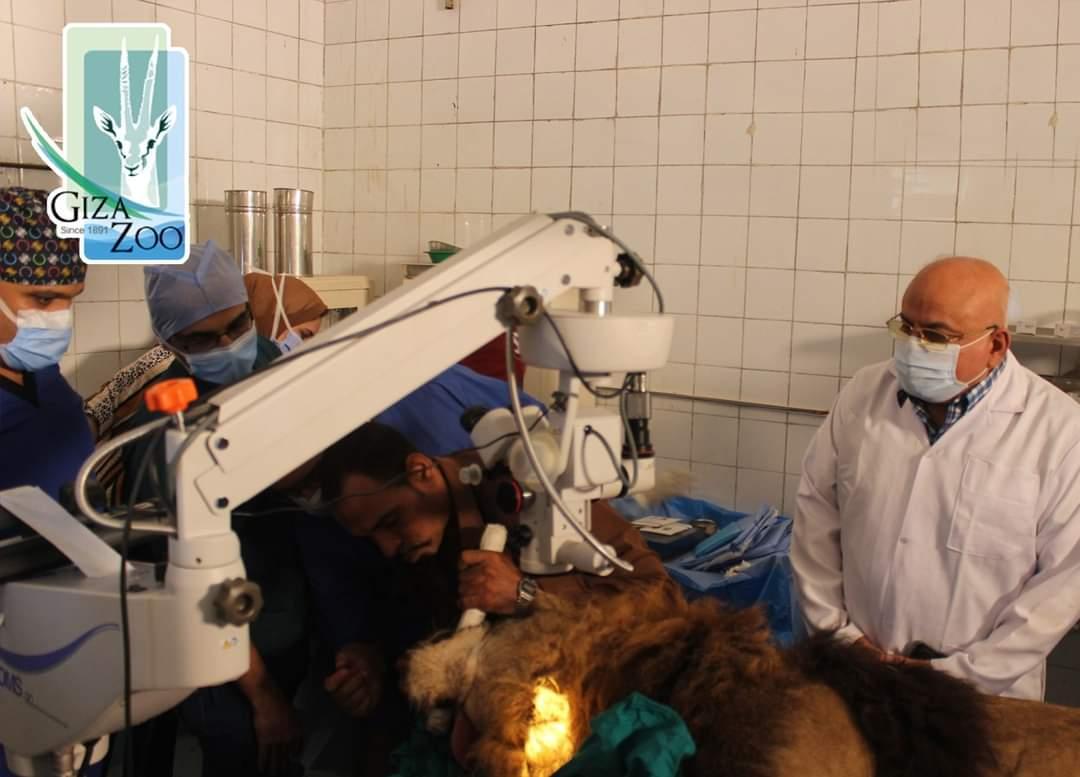 الاسد هوجان بغرفة العمليات  (4)