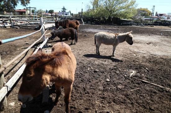 الخيول التي تعرضت لسوء المعاملة  وتم إنقاذها
