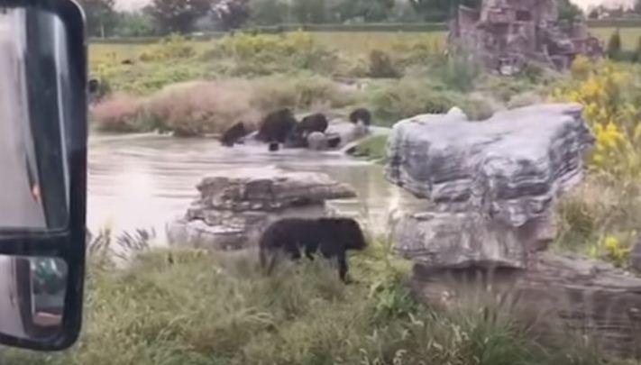 مشهد الدببة من السيارة