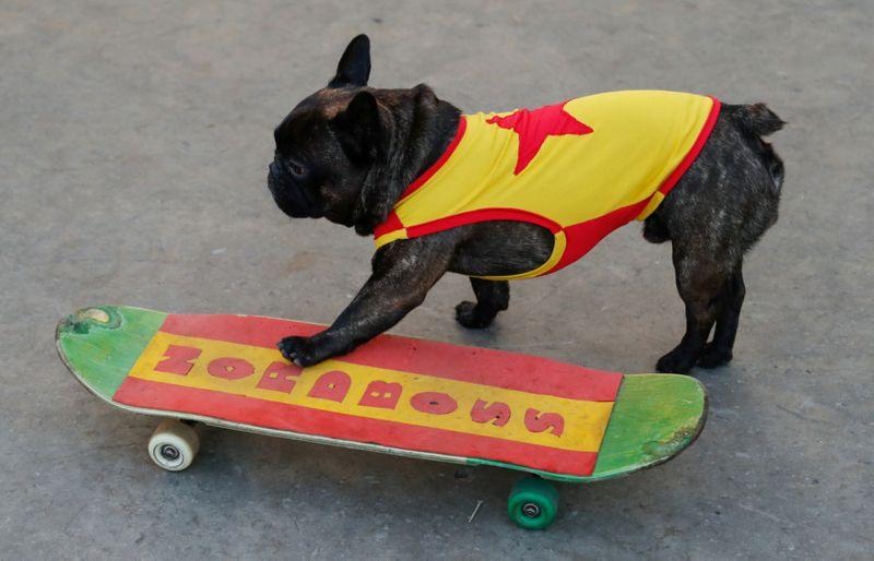 كلب مدرب على رياضة التزلج